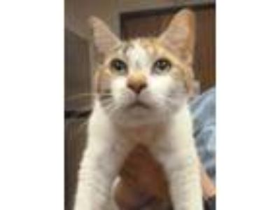"Adopt Stray Cat ""Bernice"" a Domestic Short Hair"