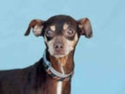 Adopt CYNTRILLE a Brown/Chocolate Miniature Pinscher / Mixed dog in Downey