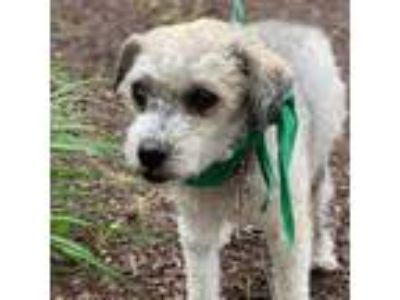 Adopt Cleo a White Poodle (Miniature) / Mixed dog in Itasca, IL (25327346)