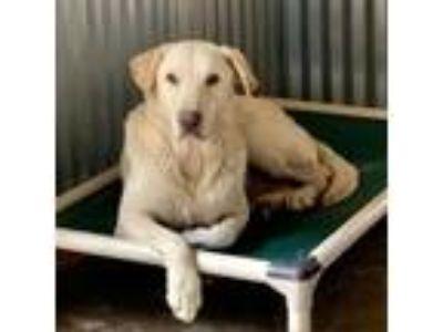 Adopt Alcatraz a White - with Tan, Yellow or Fawn Labrador Retriever dog in