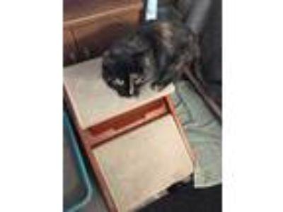 Adopt MOMMA MIA a Domestic Mediumhair / Mixed cat in Chicopee, MA (24850288)