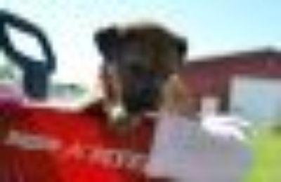 Agent Hanna German Shepherd Dog - Mastiff Dog