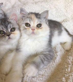 CFA Exotic Shorthair Kittens (Lazy's Man Persian)