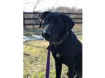 Adopt Chopper a Black Hound (Unknown Type) / Mixed dog in Concord, GA (24742644)