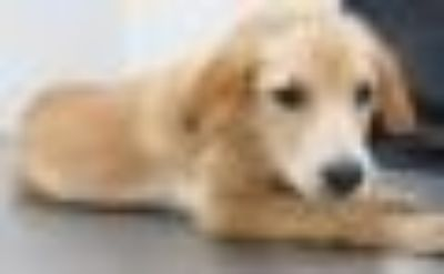Xena German Shepherd Dog - Beagle Dog