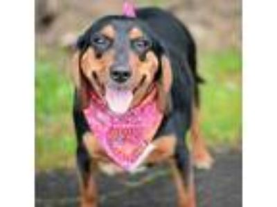 Adopt Daisy a Black Beagle / Dachshund / Mixed dog in Amsterdam, NY (25205276)
