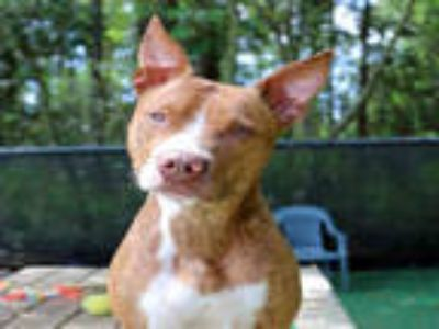 Adopt SHYNA a Red/Golden/Orange/Chestnut - with White American Pit Bull Terrier
