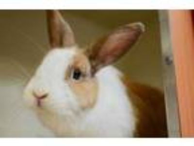 Adopt Conejito a White Other/Unknown / Mixed rabbit in Arlington, VA (25591905)