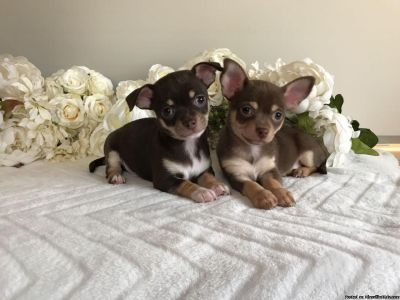 Field Chocolate Chihuahua young puppies to go now