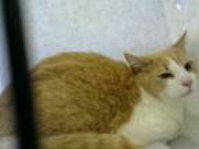 Adopt NATE a Domestic Short Hair