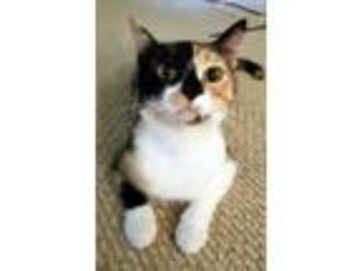 Adopt Gypsy - Athens, GA a Calico, Domestic Short Hair