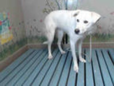 Adopt PALOMA a White Labrador Retriever / Mixed dog in Castaic, CA (25595446)