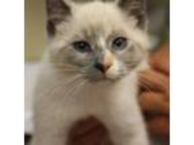 Adopt Iona a Siamese / Mixed cat in Salisbury, MD (25548125)