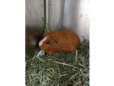Adopt DARLA a Tan or Beige Guinea Pig / Mixed small animal in St.