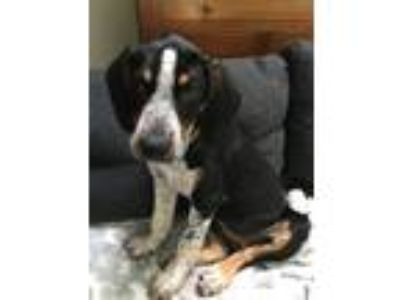 Adopt Norma Jean a Hound, Mixed Breed