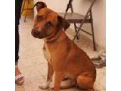 Adopt Lyli a Labrador Retriever / Pit Bull Terrier / Mixed dog in Seattle