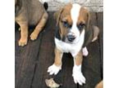 Adopt Lenny a Tricolor (Tan/Brown & Black & White) Boxer / Labrador Retriever /