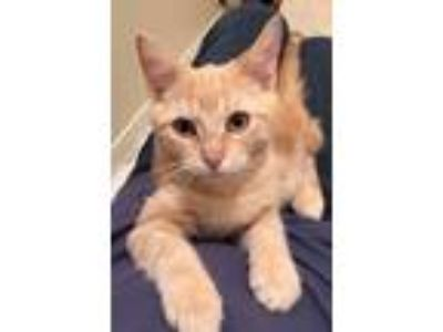 Adopt Clark a Orange or Red Domestic Shorthair / Mixed (short coat) cat in