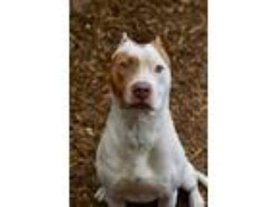 Adopt Timmy a Pit Bull Terrier / Mixed dog in Canton, GA (25567975)