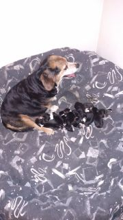 Full blooded beagle puppies for sale