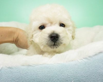 Maltipoo Puppy – Male- Lester ($1,299)