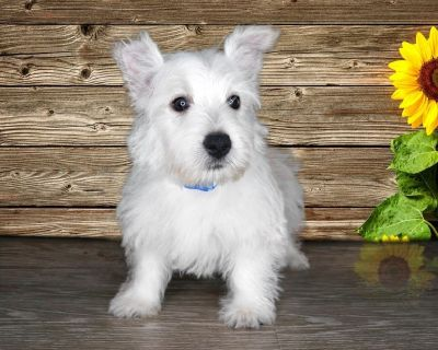 Gus is a sweet purebred male West Highland Terrier