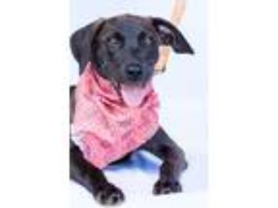 Adopt Bailey a Brown/Chocolate Labrador Retriever / Mixed dog in Norman