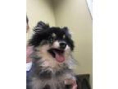 Adopt Natalie a Black - with Gray or Silver Pomeranian / Mixed dog in Pt orange