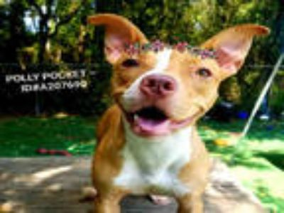 Adopt POLLY POCKET a Tan/Yellow/Fawn - with White American Pit Bull Terrier /