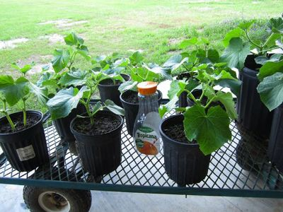 $2, ORGANIC Vegetable Plants