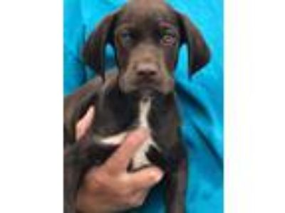 Adopt Gojiberry a Brown/Chocolate - with White Pointer / Spaniel (Unknown Type)