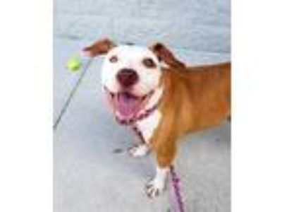 Adopt MR PUMPKIN a White - with Brown or Chocolate American Pit Bull Terrier /
