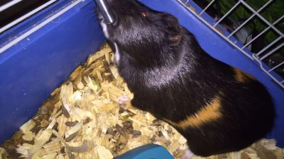 Guinea pig sweet calm and holdable