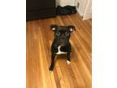 Adopt Calvin a Black - with White Boxer dog in Fort Knox, KY (25871036)