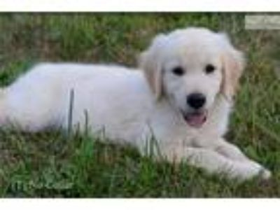 Male AKC Golden Retriever