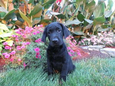 Labrador Retriever PUPPY FOR SALE ADN-94139 - Black Lab Puppy
