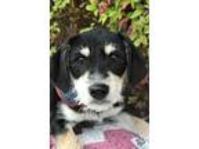 Adopt Alfalfa a Black - with Tan, Yellow or Fawn Wirehaired Fox Terrier /
