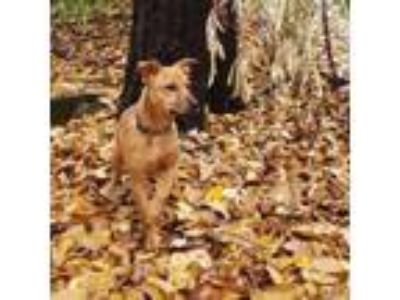 Adopt Piper a Terrier, Black Mouth Cur