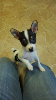 Registered Toy Rat Terrier Puppies