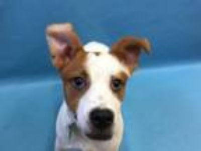Adopt Tyson a Pointer, Mixed Breed
