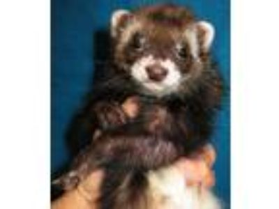 Adopt King Henry, Anne Boleyn, and Jane Seymour a Ferret