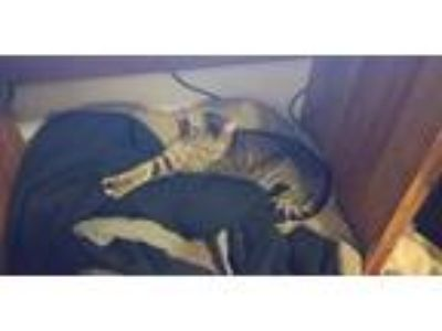 Adopt Glitch a Tiger Striped American Shorthair / Mixed cat in Crestwood