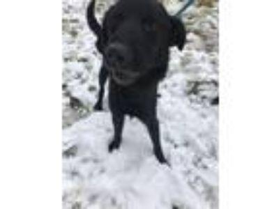 Adopt Will Primos a Labrador Retriever, Collie