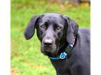 Adopt Peaches a Black Labrador Retriever
