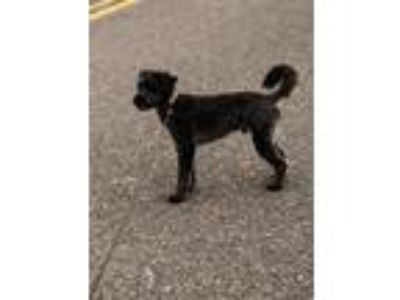Adopt Murrary a Black Poodle (Standard) / Schnauzer (Standard) / Mixed dog in