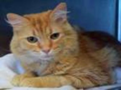 Adopt KITTY POPPINS a Domestic Long Hair