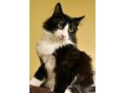 Adopt Marty a Black & White or Tuxedo Domestic Longhair / Mixed (long coat) cat