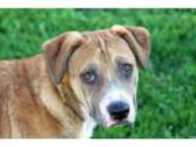 Adopt Sergeant a Tan/Yellow/Fawn Labrador Retriever / Terrier (Unknown Type