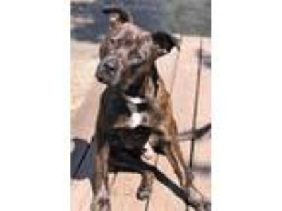 Adopt Buster, best brindle buddy, people lover! (Tacoma) a Australian Cattle Dog