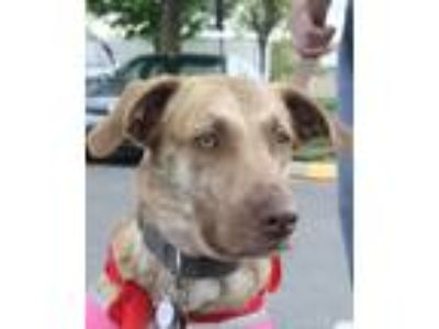 Adopt Billy Jean a Catahoula Leopard Dog